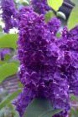 Profilbild von fliederlila