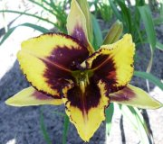 Profilbild von Palmlilie